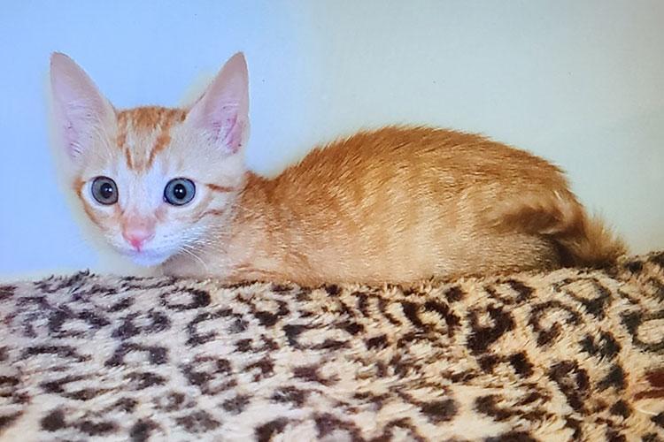 Aries (orange tabby kitten)