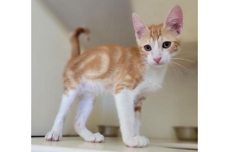 Candy Corn (orange & white tabby kitten)