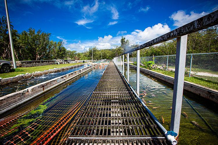 A walkway at the UOG Guam Aquaculture Training and Development Center separates tanks of black tilapia and saltwater-tolerant red tilapia being researched for growth rate. Both types of tilapia are available for wholesale purchase through CoreSeed Aquaculture (Guam) Corp. Photos courtesy of University of Guam