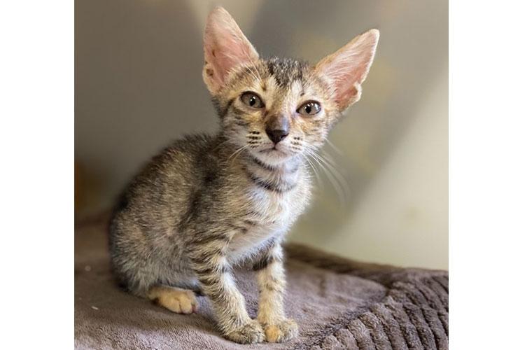 Little Cat (grey tabby kitten)