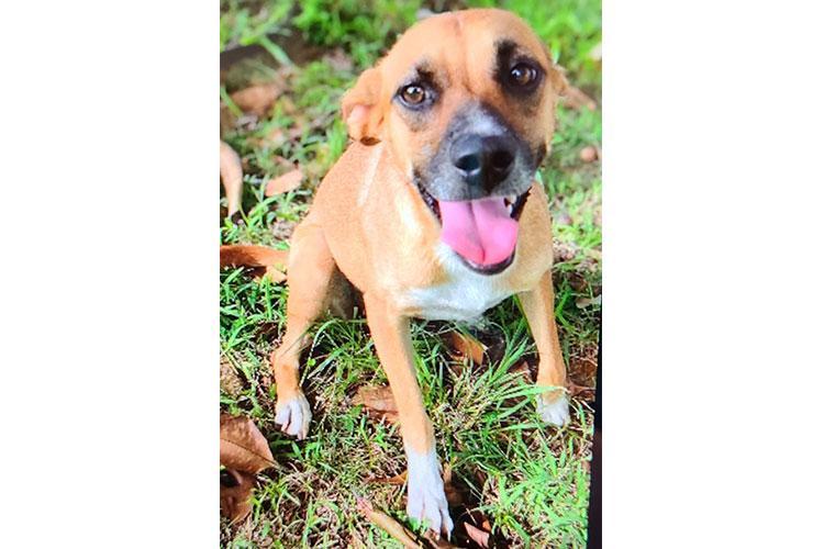 Sirena (tan adult dog)