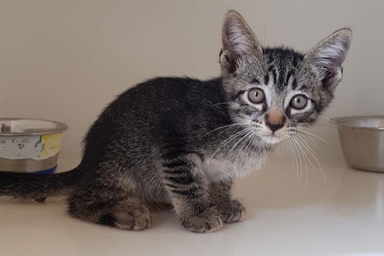 Yamz (grey tabby kitten)