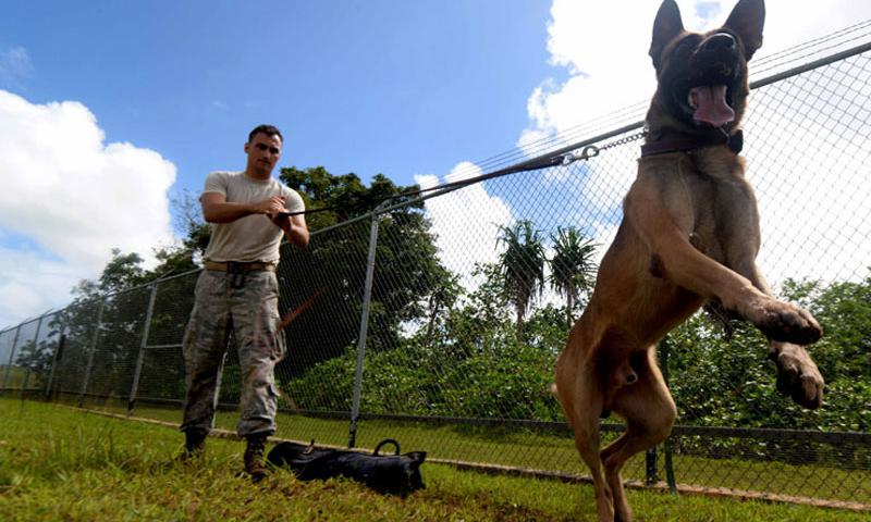 Senior Airman Casey Wheatley, 36th Security Forces Squadron dog handler, and his military working dog Ramos conduct patrol training Oct. 28, 2015, at Andersen Air Force Base, Guam. Ramos, a Belgian Malinois, is skilled in both patrol and detection. (U.S. Air Force photo by Airman 1st Class Alexa Ann Henderson/Released)