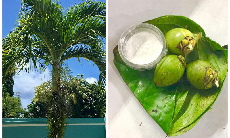 (Left) Areca catechu palm with immature betel nuts. (Right) Unripe areca nut and slaked lime powder, wrapped in betel leaf.