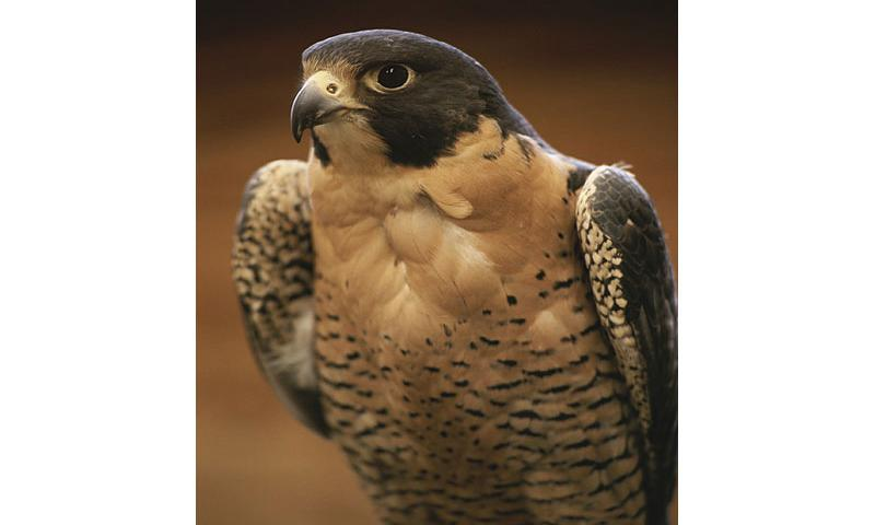 In this image released by the National Geographic Society, a peregrine falcon is shown similar to one of the falcons that will be used in McConnell Air Force Base's Bird Aircraft Strike Hazard program. (Photo/National Geographic Society)