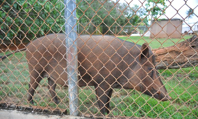 Shakey the Pig, the 36th Munitions Squadron mascot, wanders around his cage on Andersen Air Force Base, Guam, June 21, 2013. The original mascot of the 36th MUNS was found in 1957 when a couple of Airmen caught him as a piglet. The current Shakey has been the mascot for three years. (U.S. Air Force photo by Senior Airman Robert Hicks)