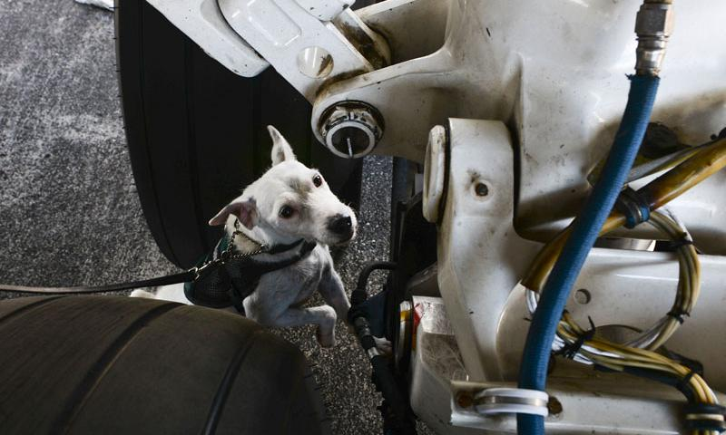 Striker, a U.S. Department of Agriculture brown tree snake detector dog, inspects an aircraft prior to departure April 30, 2015, at Andersen Air Force Base, Guam. All Department of Defense aircraft, household goods, vehicles and cargo are required to be searched prior to departure in order to prevent the establishment of the snakes in other regions. (U.S. Air Force photo by Senior Airman Katrina M. Brisbin)