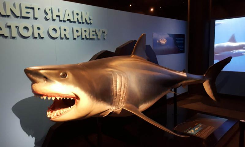 The not-so-subtle message of Planet Shark: Predator or Prey, an exhibit at the Bishop Museum in Honolulu, is that while this ancient creature is at the top of the ocean food chain, sea life would collapse without sharks playing their role. Wyatt Olson/Stars and Stripes