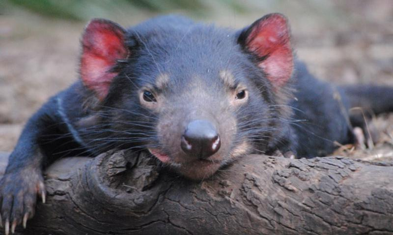 A Tasmanian devil relaxes at Bonorong Wildlife Sanctuary in Tasmania. Courtesy of Bonorong Wildlife Sanctuary